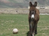 Donkey - with four legs a clearly superior soccer player